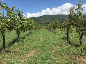 Le vignoble biodynamique de la Pievuccia à Castiglion Fiorentino